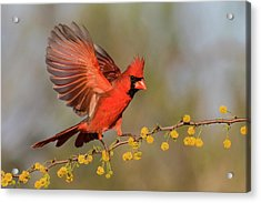Northern Cardinal Male Landing Acrylic Print by Larry Ditto