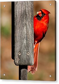 Acrylic Print featuring the photograph Northern Cardinal by Robert L Jackson