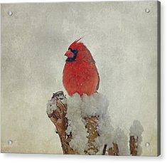 Northern Cardinal Acrylic Print by Sandy Keeton