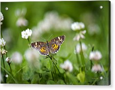 Northern Crescent Butterfly Acrylic Print