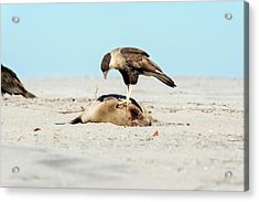 Northern Crested Caracara On A Carcass Acrylic Print