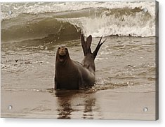 Acrylic Print featuring the photograph Northern Elephant Seal by Lee Kirchhevel