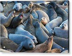 Northern Elephant Seals (mirounga Acrylic Print