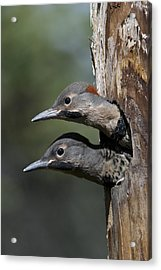 Northern Flicker Chicks In Nest Cavity Acrylic Print