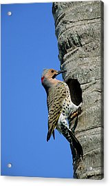 Northern Flicker (colaptes Auratus Acrylic Print