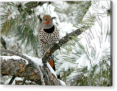 Northern Flicker On Snowy Pine Acrylic Print