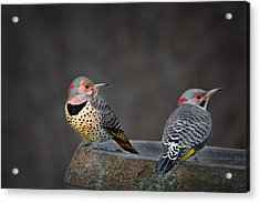 Northern Flickers Acrylic Print