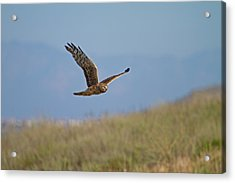 Northern Harrier In Flight Acrylic Print
