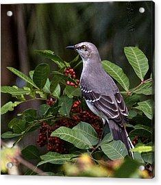 Northern Mocking Bird Acrylic Print