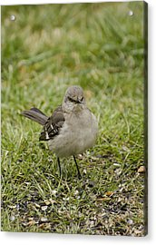 Northern Mockingbird Acrylic Print by Heather Applegate