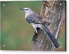 Northern Mockingbird Acrylic Print