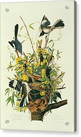 Northern Mockingbirds Acrylic Print by Natural History Museum, London/science Photo Library