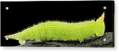 Northern Pearly-eye Caterpillar Acrylic Print by Us Geological Survey