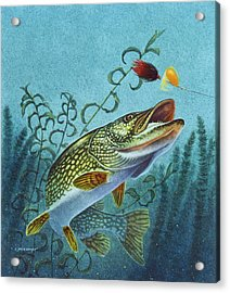 Northern Pike Spinner Bait Acrylic Print by Jon Q Wright