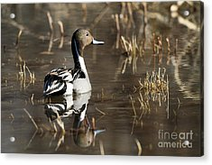 Handsome Northern Pintail Acrylic Print