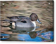 Northern Pintail Acrylic Print by Tyson and Kathy Smith