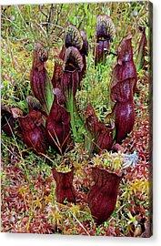 Northern Pitcher Plant, Sarracenia Acrylic Print