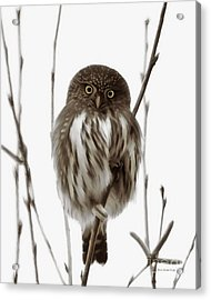Northern Pygmy Owl - Little One Acrylic Print