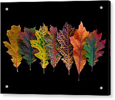 Northern Red Oak Leaves In Autumn Acrylic Print by Frans Hodzelmans