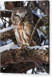 Northern Saw-whet Owl.. Acrylic Print by Nina Stavlund