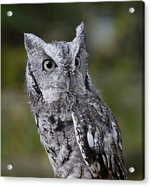 Northern Screech Owl Acrylic Print
