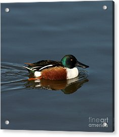 Acrylic Print featuring the photograph Northern Shoveler by Bob and Jan Shriner
