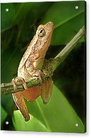 Northern Spring Peeper Acrylic Print by William Tanneberger