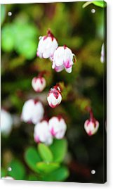 Norway Moss Bell Heather Or Mossplant Acrylic Print by Fredrik Norrsell