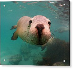 Nosey Sea Lion Acrylic Print by Crystal Beckmann