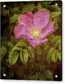Nostalgic Rose Acrylic Print by Karen Stephenson