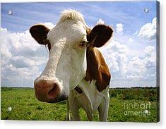 Nosy Cow Acrylic Print