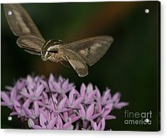 Not A Hummer Acrylic Print by Marty Fancy