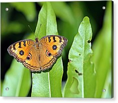 Now You See Me Acrylic Print by Atchayot Rattanawan