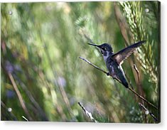 Now You See Me... Acrylic Print by Wendi Curtis