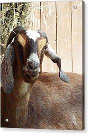 Nubian Goat Acrylic Print