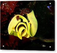 Nudibranch Eggs Acrylic Print by April Muilenburg