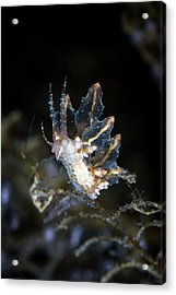 Nudibranch Feeding Acrylic Print by Ethan Daniels