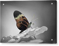 Numata Longwing Butterfly-nectar Acrylic Print by Becca Buecher