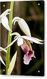 Nun's Orchid Acrylic Print