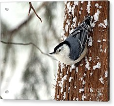 Nuthatch In Snow Storm Acrylic Print by Paula Guttilla