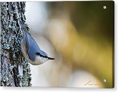 Nuthatch In The Classical Position Acrylic Print