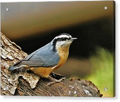 Acrylic Print featuring the photograph Nuthatch Pose by VLee Watson