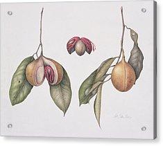 Nutmeg  Acrylic Print by Margaret Ann Eden