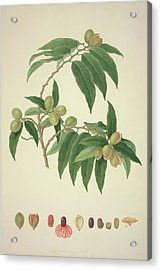 Nutmeg Plant Acrylic Print by Natural History Museum, London/science Photo Library