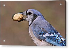 Nutty Bluejay Acrylic Print