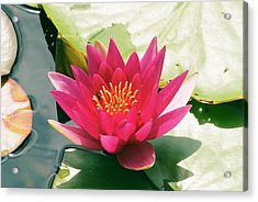 Nymphaea 'escarboucle' Acrylic Print by Adrian Thomas