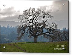 Oak In Fog Acrylic Print