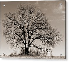 Oak In Sepia Acrylic Print by Lula Adams