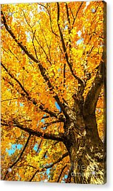 Oak In The Fall Acrylic Print by Mike Ste Marie