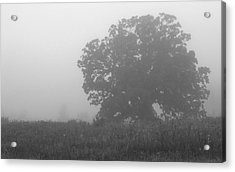 Oak In The Fog Acrylic Print